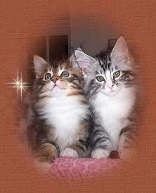 Shubacoons Maine Coons Introduction